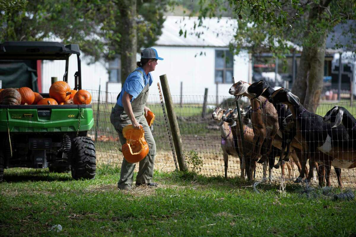 Stacey Roussel's goats are excited about the pumpkins they are about to have Thursday, Dec. 10, 2020, in Needville. Roussel's friend Beth Blute has been picking up pumpkins from people in west Houston since the day after Halloween and dropping them off at Roussel's All We Need Farm.