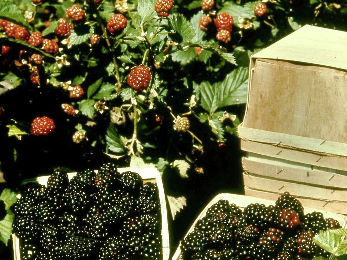 Blackberries are propagated by digging the existing root sprouts that have formed around the mother plant, or through root cuttings from large roots.