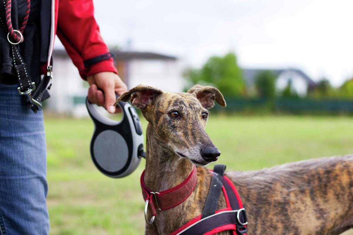 Dogs that won't potty while on a leash may be a little afraid of the leash, even if they don't outwardly show it.