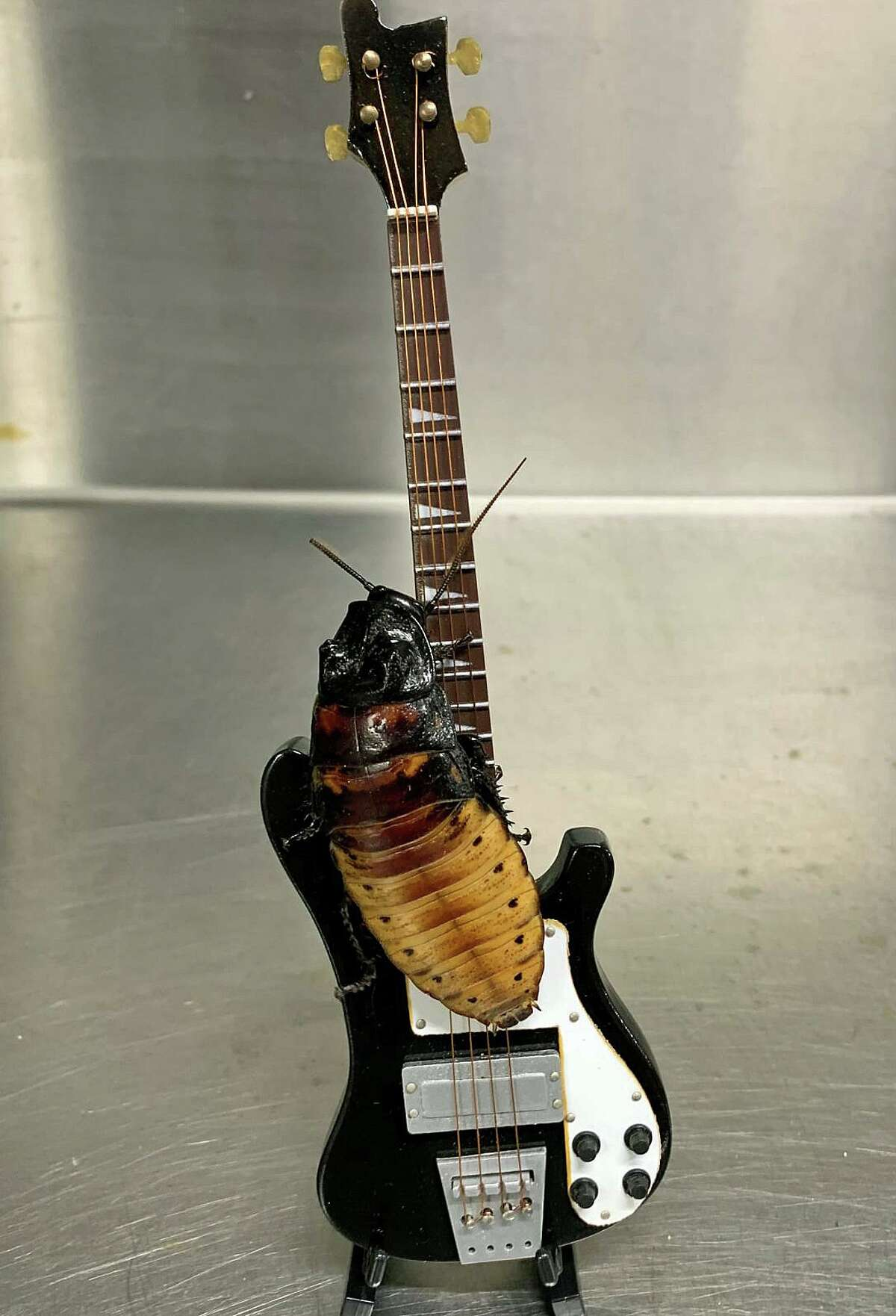 Keith Richards had an unexpected tribute this week when a cockroach was named in his honor on the legendary Rolling Stone rocker on his 77th birthday. Keith the cockroach even has his own miniature guitar. The cockroach and its instrument, however won't be living with Keith in his Weston home. It will be on display at the Children's Museum in West Hartford.