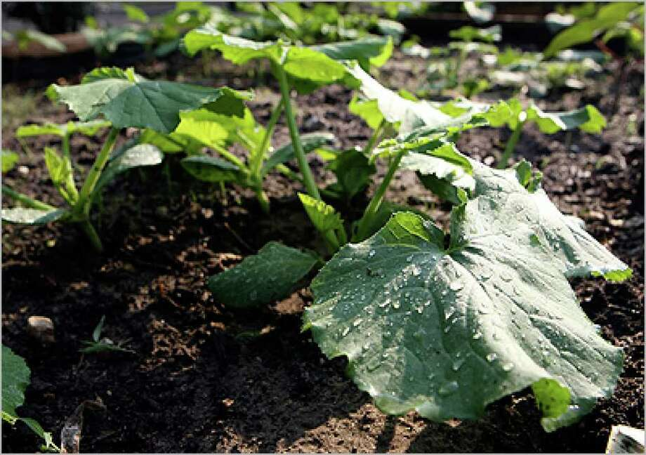 Give vine plants such as winter squash plenty of room to stretch out.