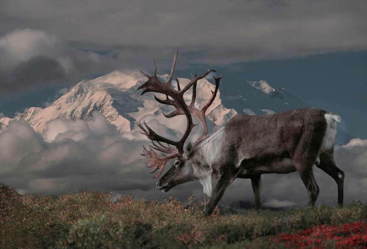 Caribou bull ( Rangifer tarandus) and Mt. McKinlely, Denali Natl Park, Alaska.