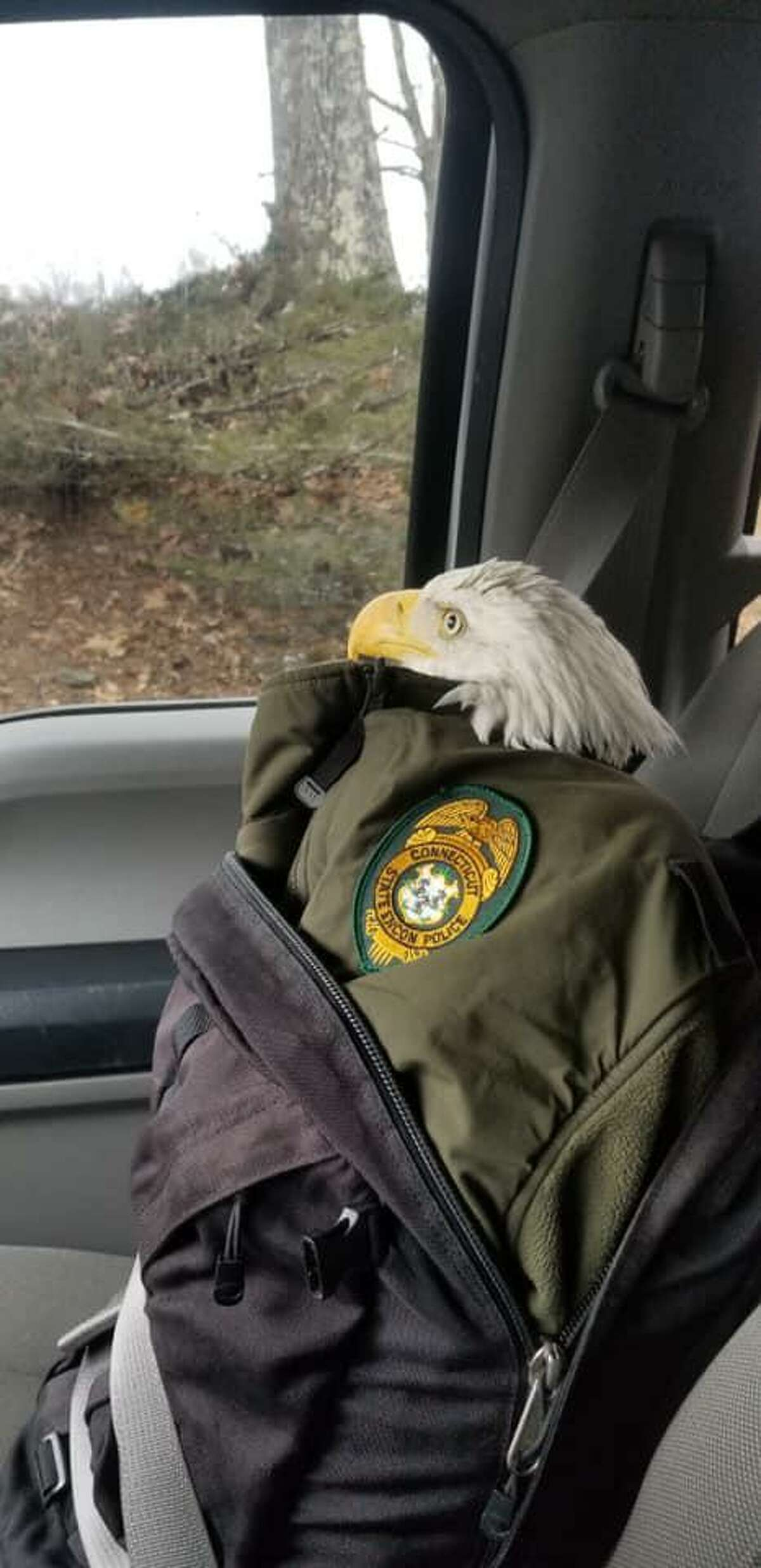 The bald eagle as she was being transported to the Sharon Audubon Center in Sharon, Conn., after being found injured by a hiker in Thomaston on Wednesday, Dec. 16, 2020.