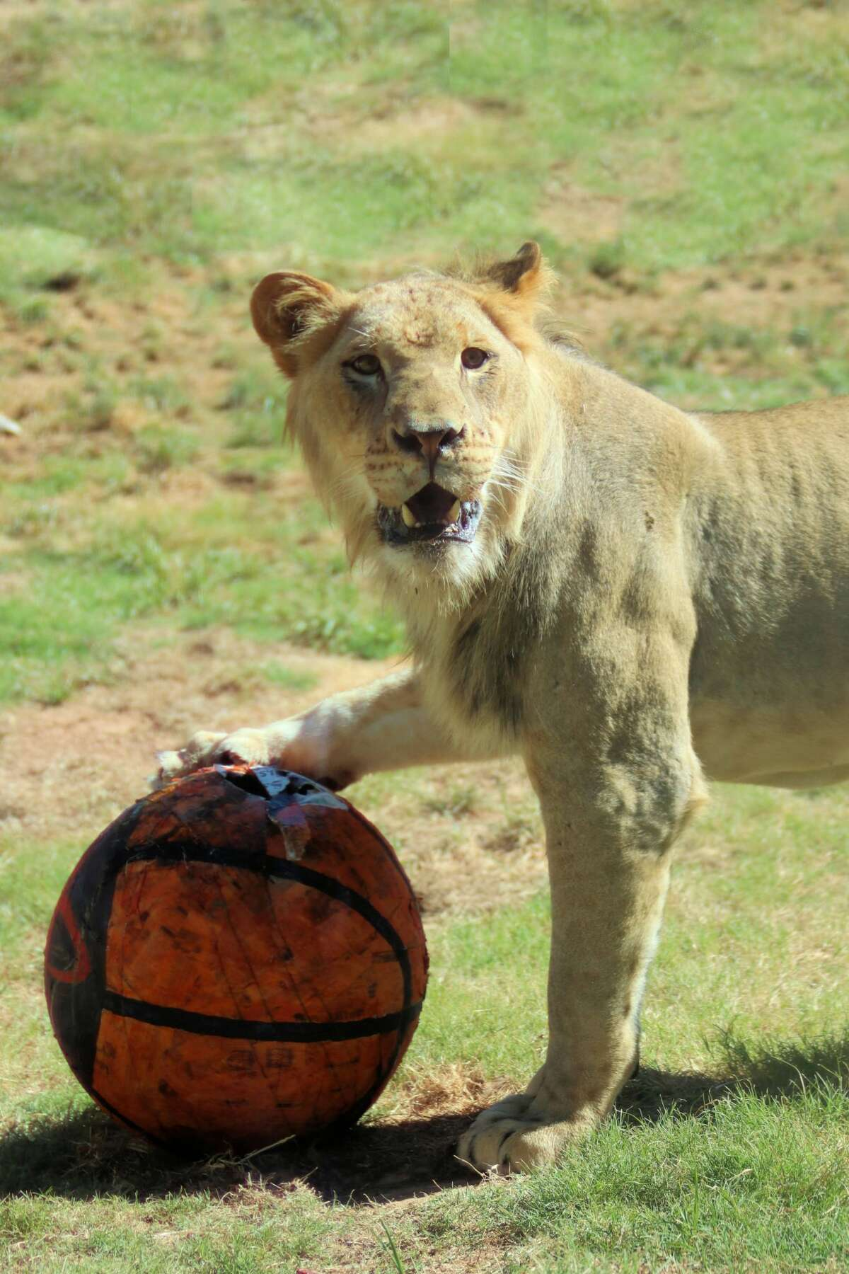 Tony the lion is leaving the San Antonio Zoo and moving to Tucson, Ariz.