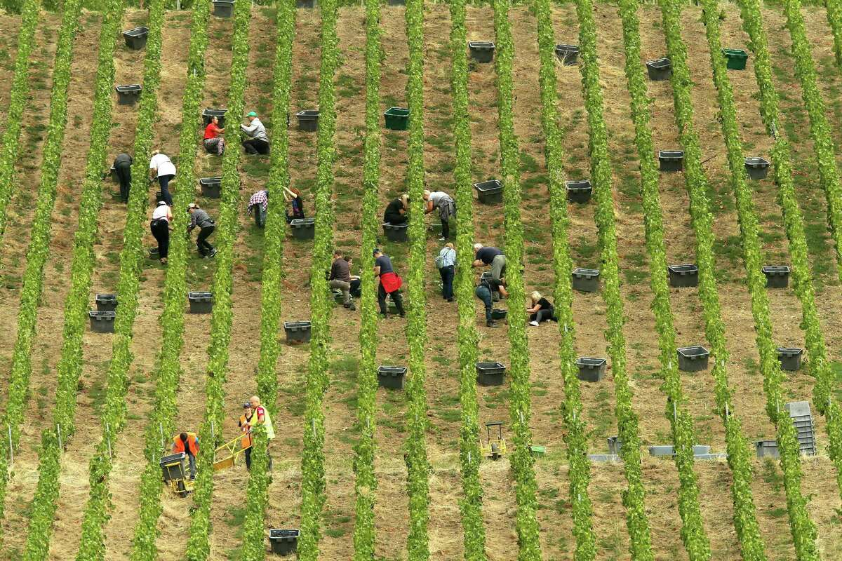People have worked the harvest in France's Champagne region for centuries, even during wartime.