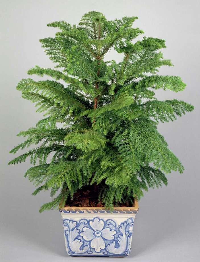 Norfolk island pine (Photo by DeAgostini/Getty Images) / De Agostini Editorial