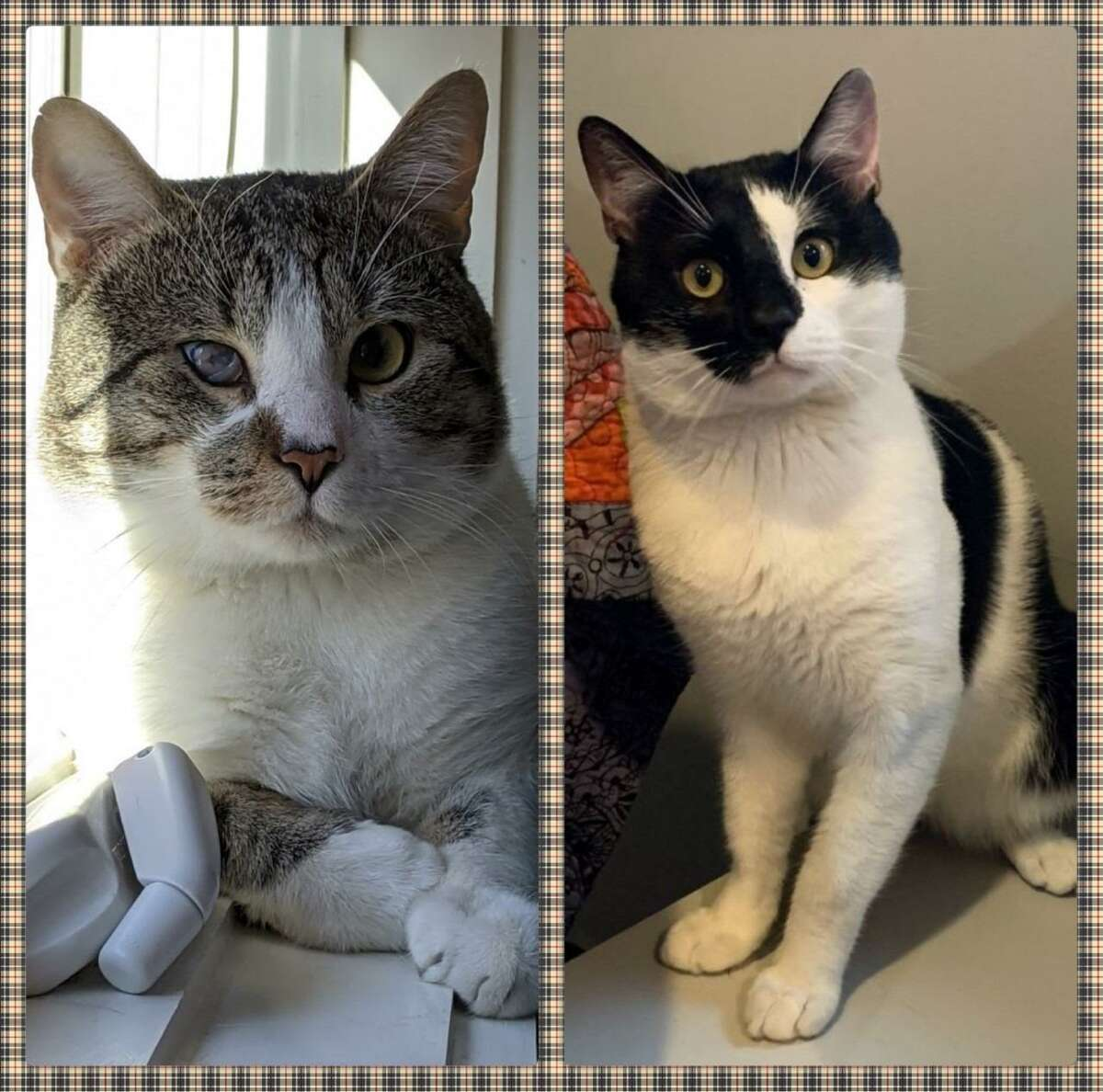 Badger, and Moo, two cats, are more than ready to meet their new family following each of the cats stay at the ROAR Donofrio Animal Shelter in Ridgefield. They can be met by calling the shelter at (203) 438-0158.