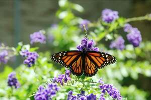 A monarch butterfly searches for nectar in League City.