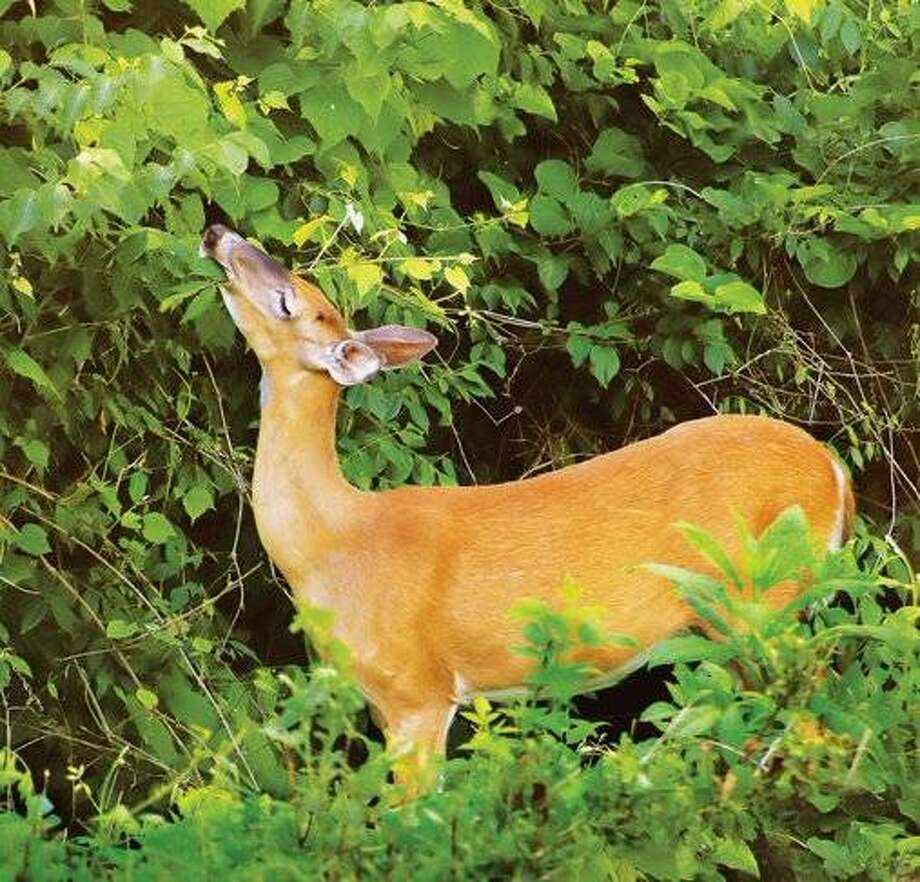 A deer dines in an Alton backyard earlier this year. According to state officials, fewer deer were taken in the Riverbend during this year's firearm season while the statewide harvest rose.