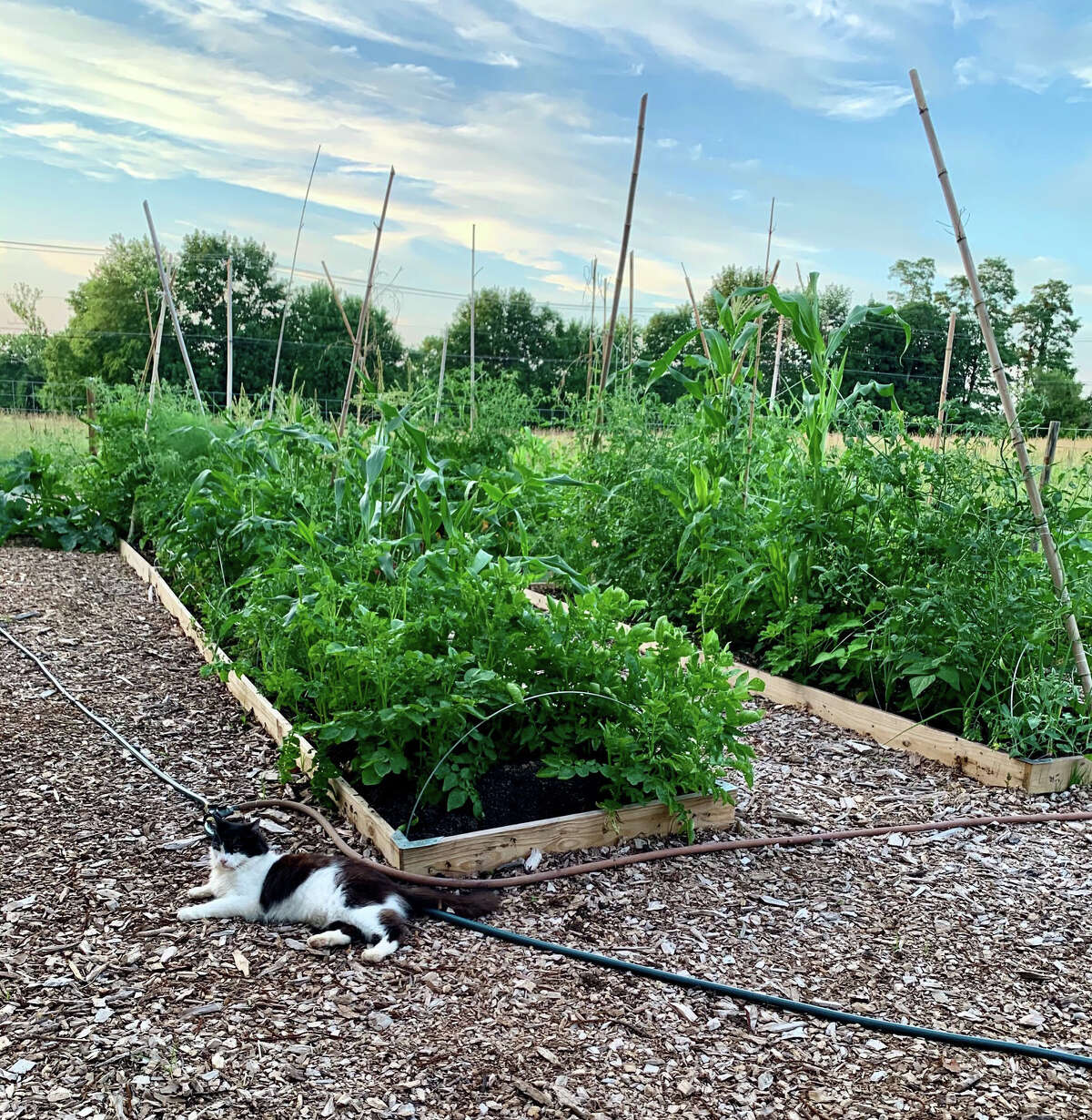 Farm cat Chauncey relaxes at Mara Tyler's vegetable plot in Oxford, Pa. The garden, created in spring as a response to the pandemic, continues to provide produce for Tyler and her family as well as co-gardener Matthew Ross.