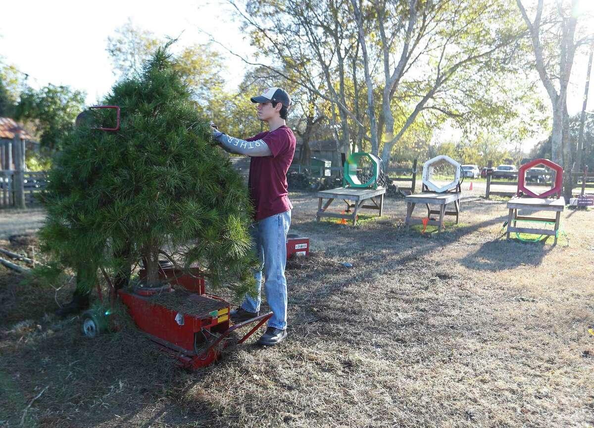 Isaiah Mondoza, 15, shakes a tree, to get rid of dead pine needles, for a customer at Holiday Acres Farm, a Christmas tree farm, Thursday, December 10, 2020, in Manvel.