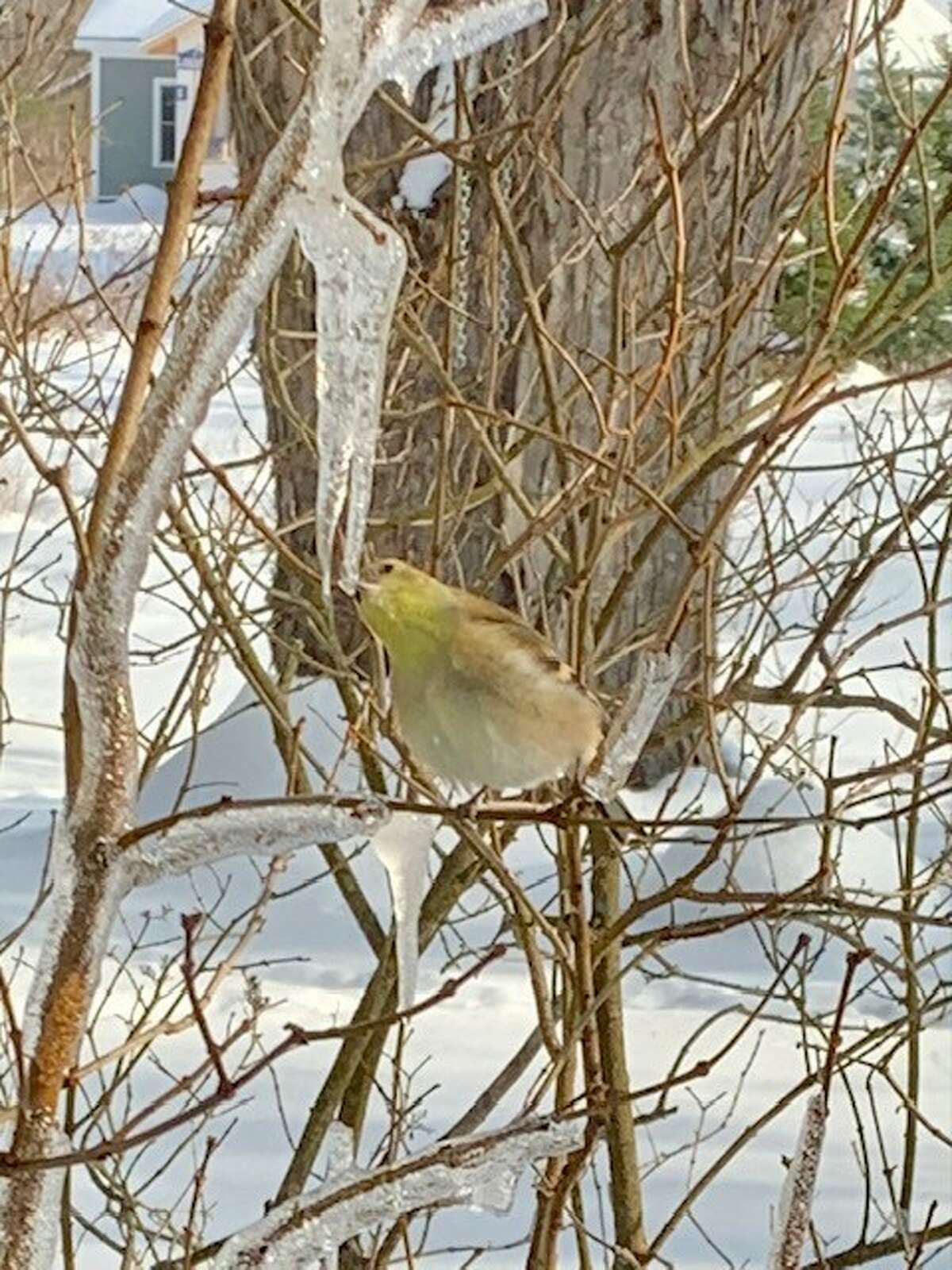 Valerie Donovan of Delmar found a goldfinch drinking from an icicle.
