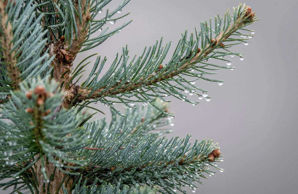 A lasiocarpa fir tree is pictured at a Christmas trees production, in La Petite-Pierre, northeastern France, on November 22, 2019. - The production of Christmas trees is affected by global warming, the breeders have to adapt and try new species. France has about 200 producers of natural Christmas trees on some 5,000 hectares. (Photo by PATRICK HERTZOG / AFP) (Photo by PATRICK HERTZOG/AFP via Getty Images)