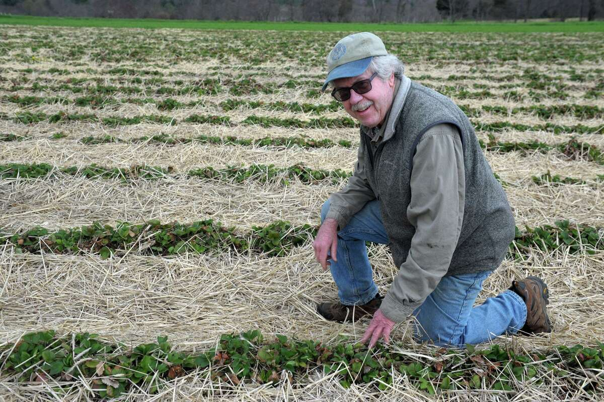 Terry Jones, owner of Jones Family Farms, inspects plants in one of his strawberry fields in Shelton April 29, 2020.