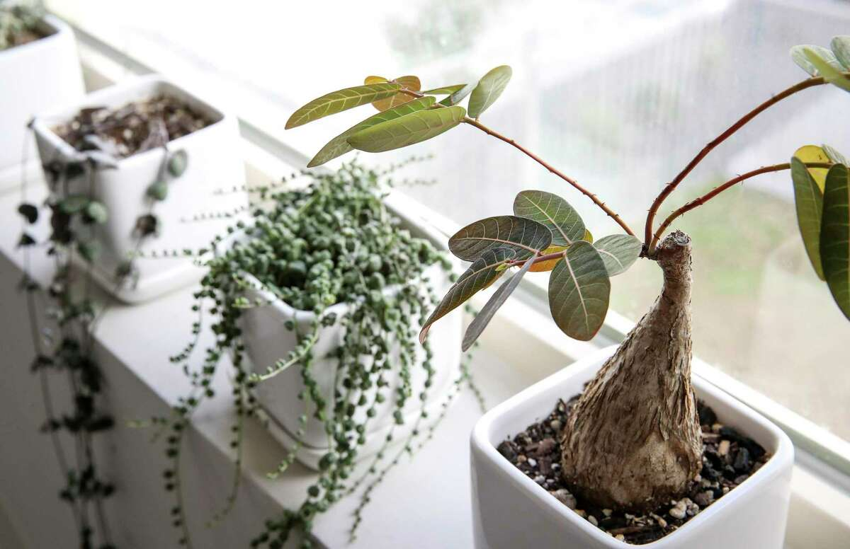 A Phyllanthus mirabilis sits next to a window in Nece Ruff's home Tuesday, Dec. 22, 2020, in Houston.