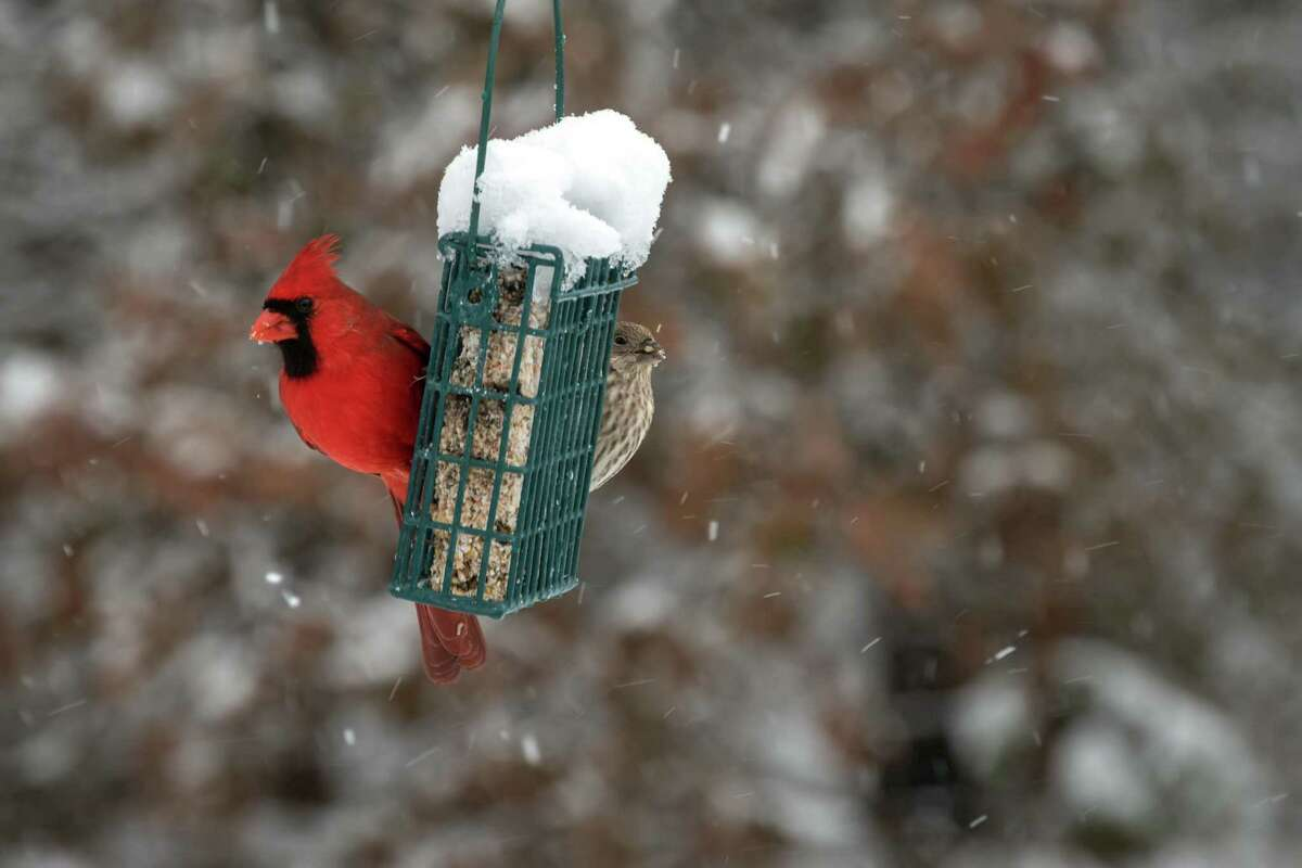 Suet will attract all sorts of insect-eating birds like this cardinal and finch.