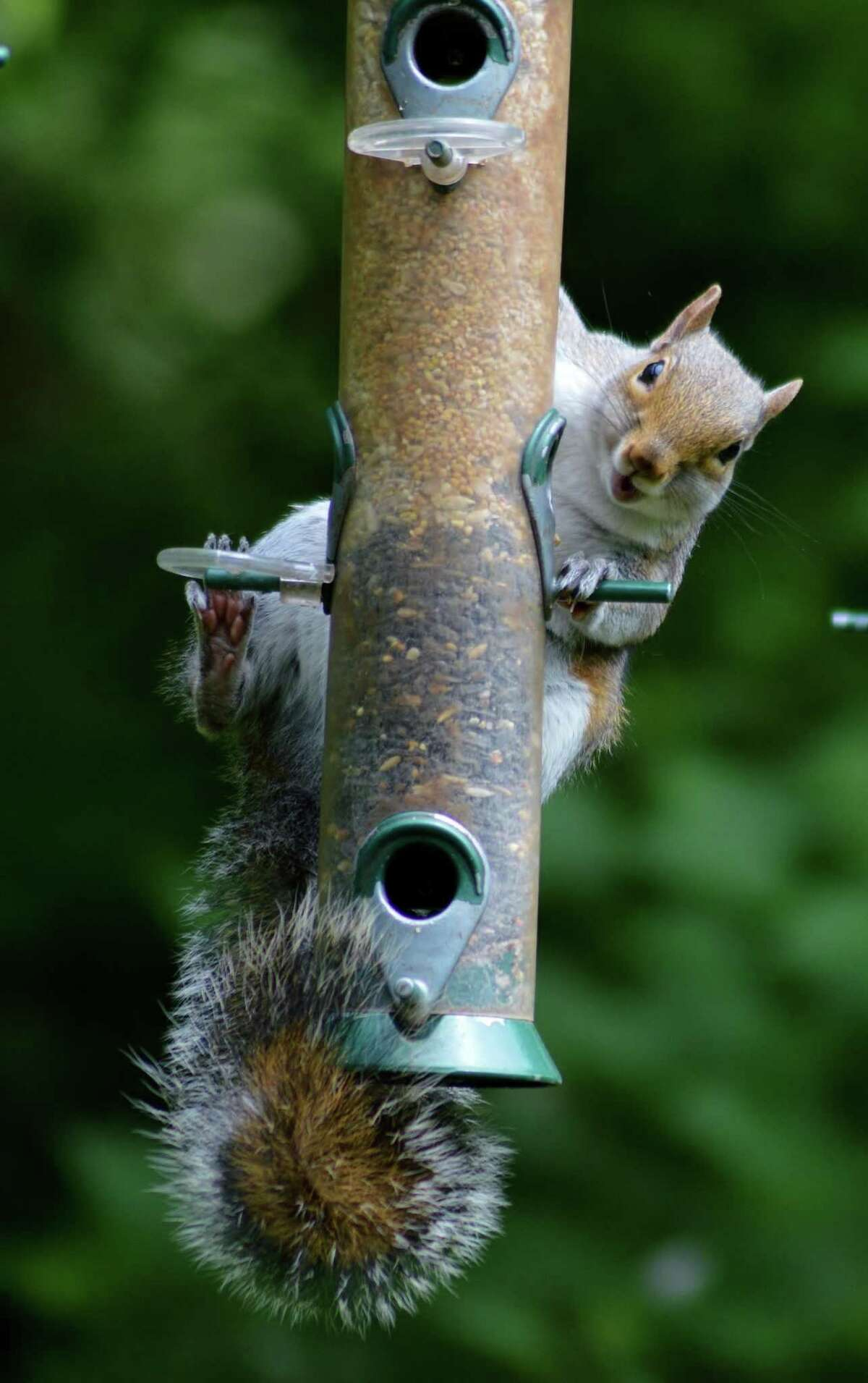 To keep squirrels from eating all your sunflower seeds meant for birds, use a feeder with weight-sensitive perches.