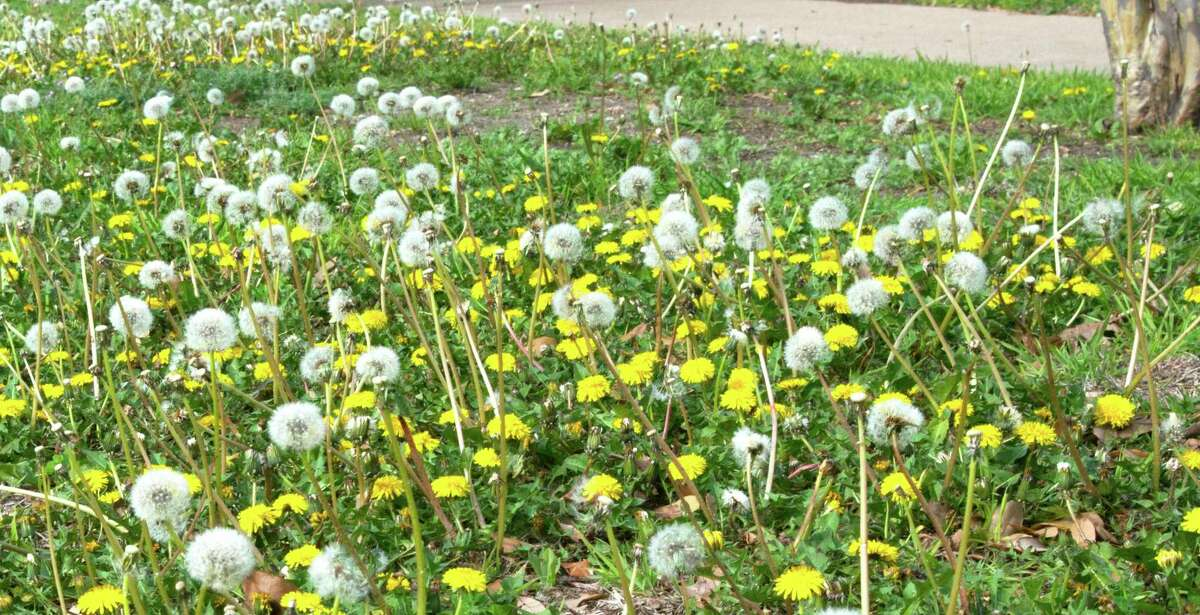 For controlling a dandelion overgrowth, a broadleafed weedkiller spray is less expensive than pre-emergents and just as effective.