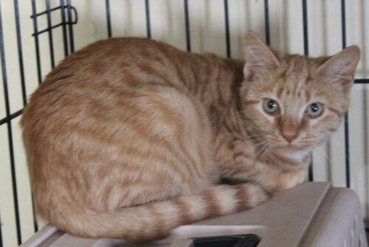 Roxy and Daisy are a sibling, bonded pair of female kittens that must be adopted together. They were found with a large group of abandoned cats and require time, patience, love and caring as they are still adjusting to being with people. Roxy is more outgoing than Daisy and both are very sweet. Roxy has a congenital eye issue that is successfully treated with meds. The two are fully vaccinated, healthy and will be ready for adoption in January. If interested, please complete the adoption application and make an appointment to meet them. Visit http://www.CatTalesCT.org/cats/Roxy, call 860-344-9043, or email: info@CatTalesCT.org. Watch our TV commercial: https://youtu.be/Y1MECIS4mIc