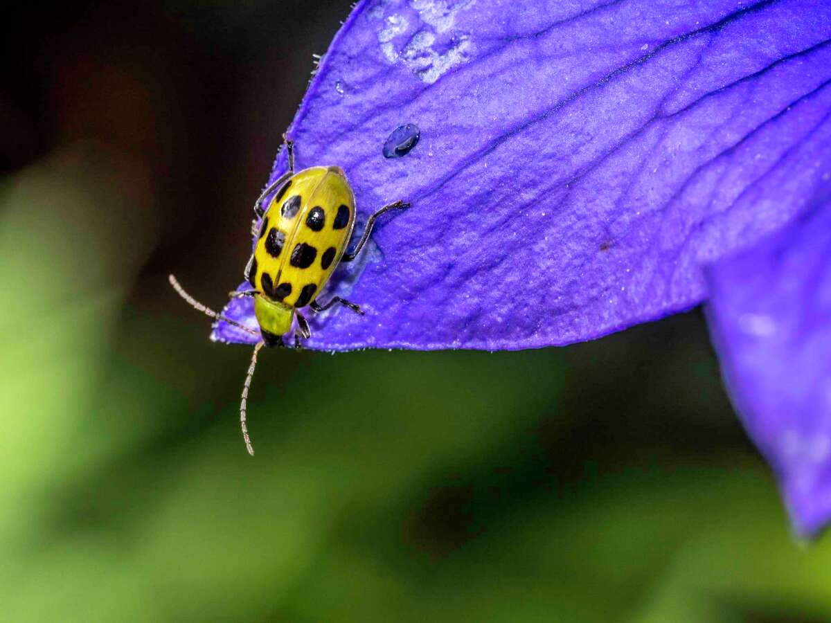 Cucumber beetles that feed on greens can be controlled with malathion or organic insecticides.