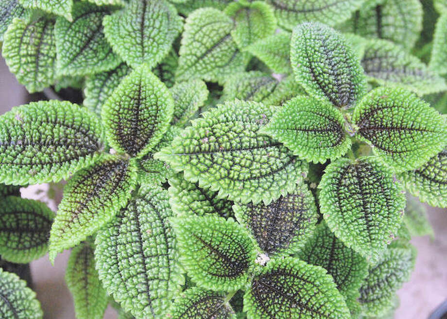 Moon Valley Pilea is a moisture-loving plant that prefers high humidity but will tolerate average home humidity. Photo: MelindaMyers.com