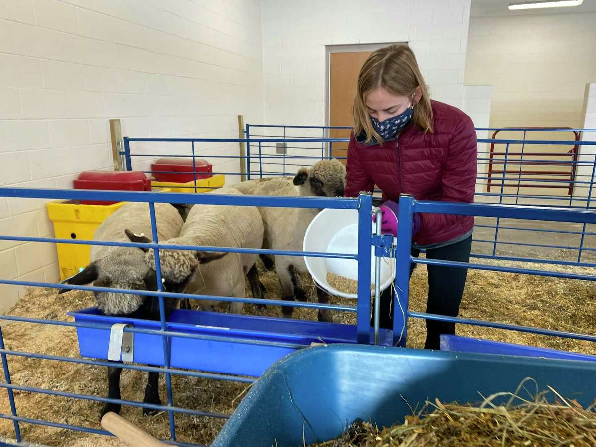 A student at Shepaug Valley School's agriscience program feeding the sheep.
