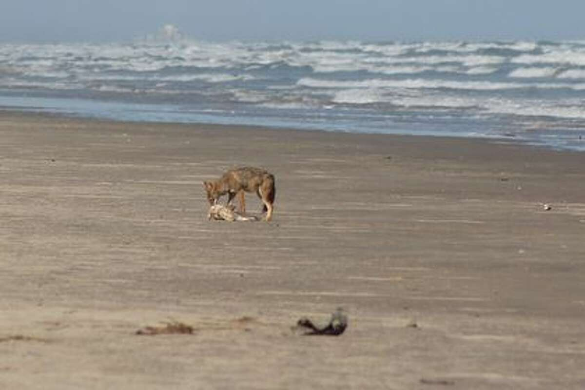 While visiting Padre Island National Seashore last month, Summer Smith witnessed a rare sight - an