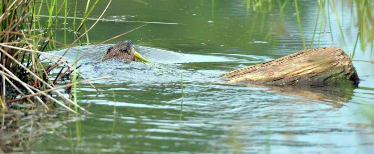 A muskrat swims off with a pond plant in its mouth. (Courtesy photo/Michigan Department of Natural Resources)