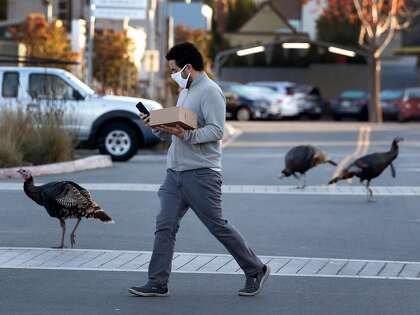 Bir kişi geçen ay Albany'deki University Village Alışveriş Merkezi'nde dolaşan yabani hindilerin yanından geçiyor.  Kuşlar, sık sık trafik sıkışıklığına rağmen Albany'nin resmi olmayan sembolleri haline geldi.