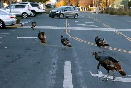 21 Kasım 2020 Cumartesi günü, Kaliforniya, Albany'deki Monroe Caddesi'ndeki University Village Alışveriş Merkezi'nde bir kirişli yaban hindi dolaşıyor.  Büyük kuşlar, Albany'nin resmi olmayan sembolleri haline geldi ve genellikle günlük yolculuklarında trafiği engelliyor.