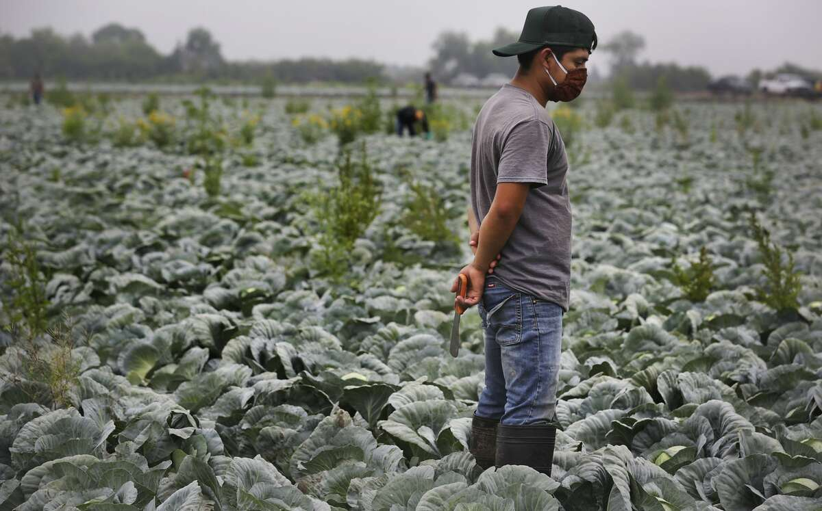 A migrant worker from Chiapas, Mexico, pauses after reaching the end of his row, picking cabbage in a field near Edinburg, Texas. Farmers and field workers in the Rio Grande Valley are feeling the coronavirus pinch. With the closure of restaurants nationwide, there isn't enough demand for the produce that was planted three to four months ago. Some crops, like onions, remain in the fields where they may rot, because there isn't room in the packing houses that are already full, on Tuesday, April 7, 2020.