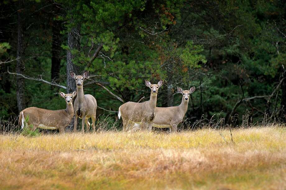 A late antlerless firearm deer hunt is open on private land in Alcona, Alpena, Montmorency, Oscoda and Presque Isle counties. (Courtesy photo/DNR) / DSK220 37 Mi. DNR photo David Kenyon (517) 373-6516 kenyond@michigan.gov