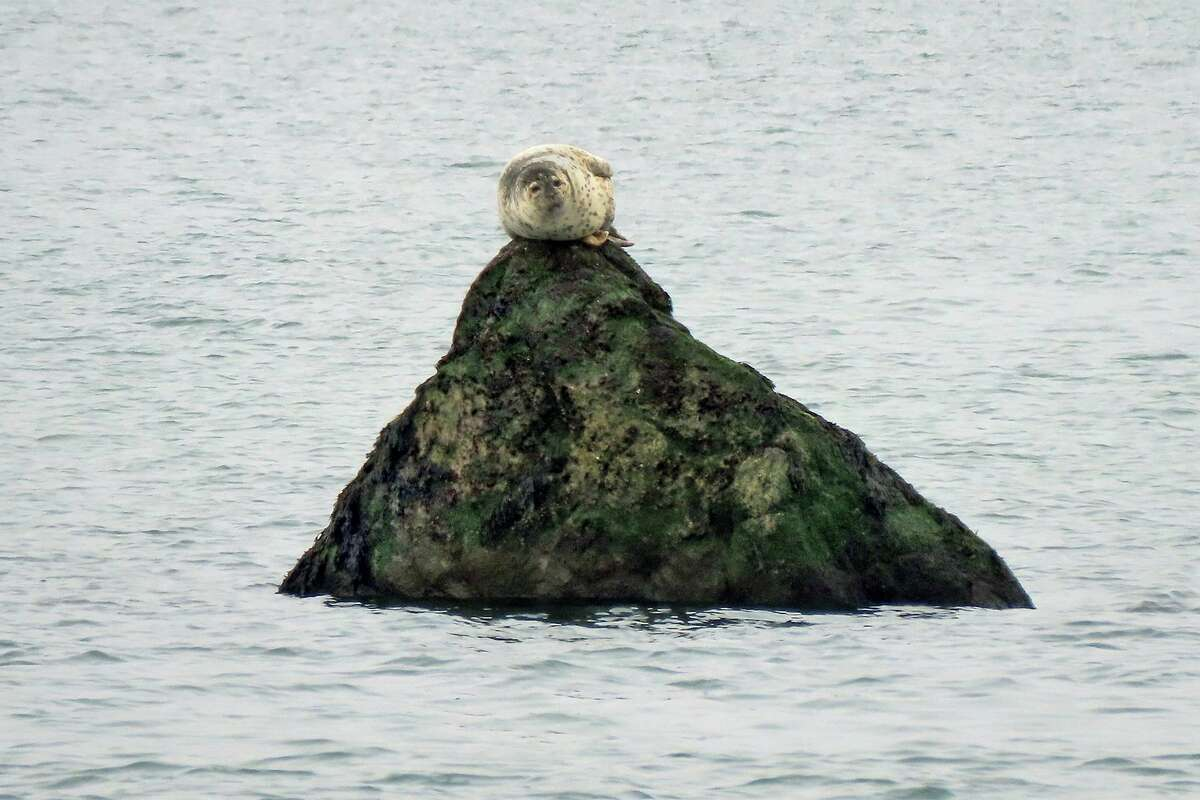 A somewhat lofty perch (for a seal) on a rock in the Sound.