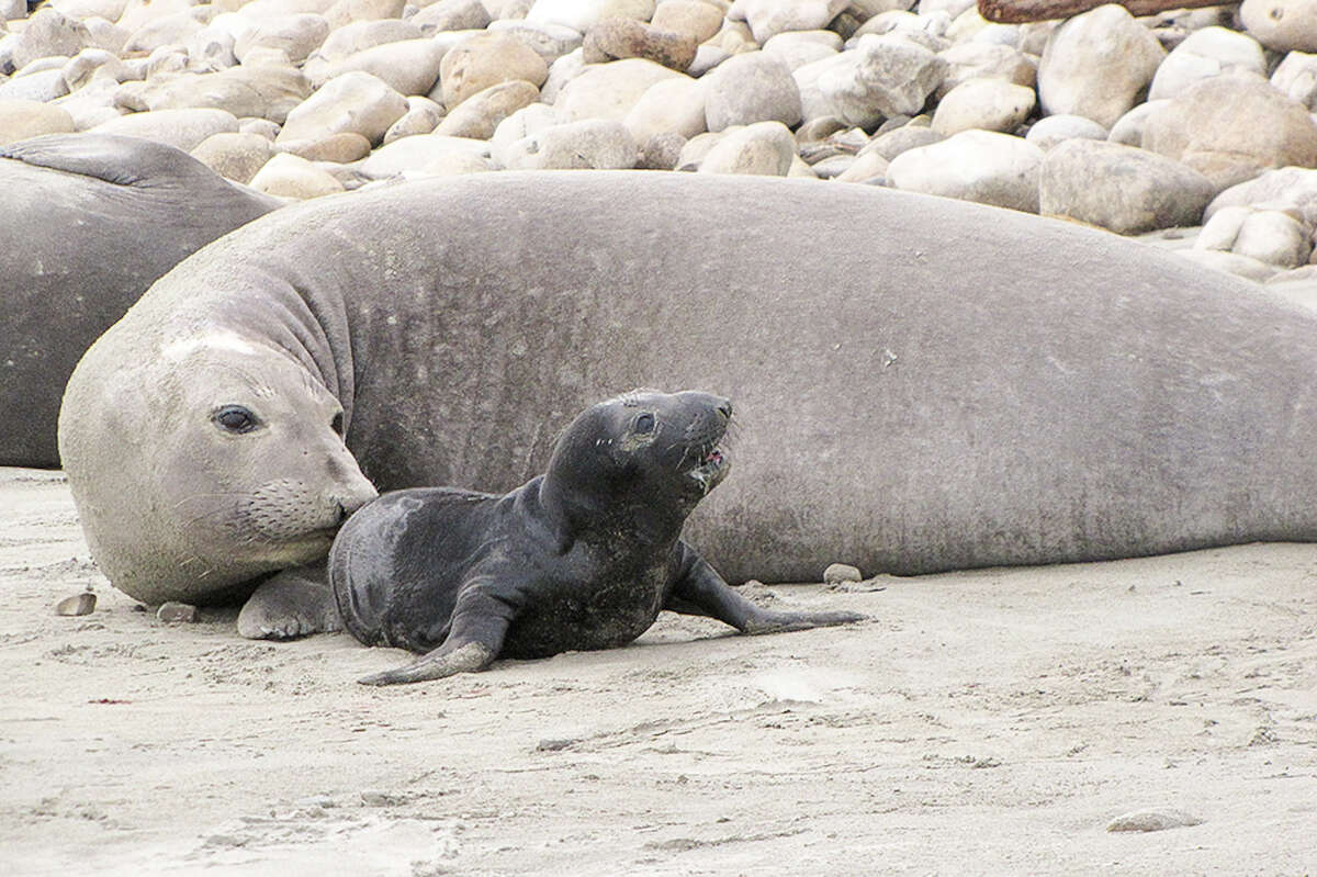 A mother seal nudges its baby forward on the Point Reyes National Seashore.