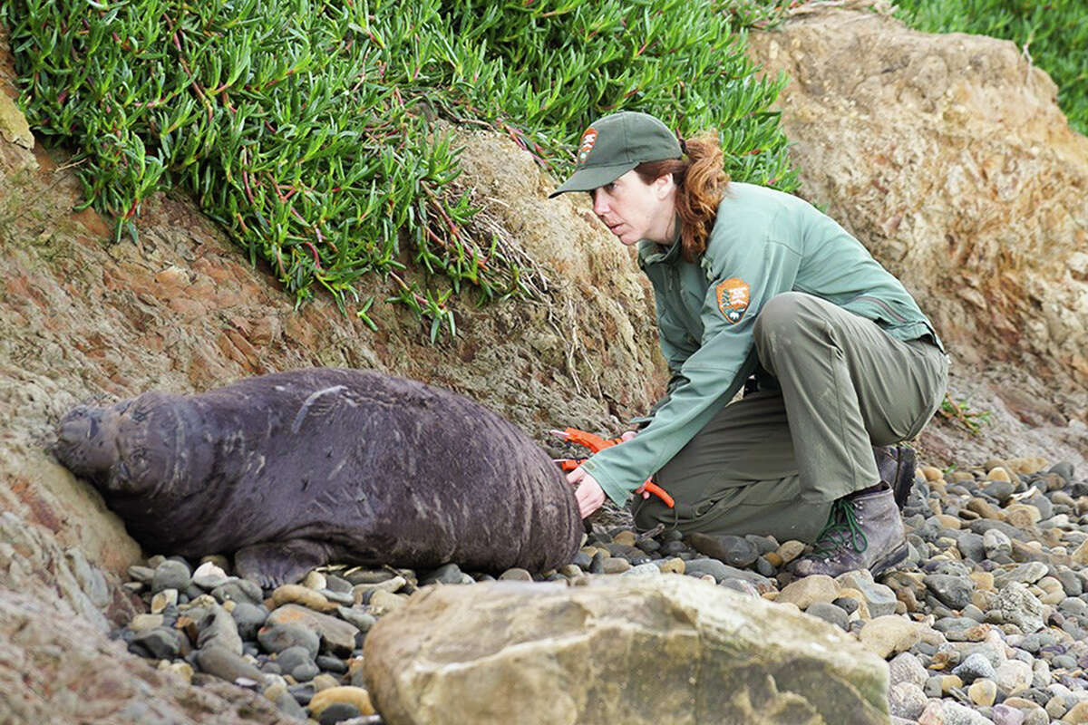 Sarah Codde conducts a seal survey on the Point Reyes National Seashore.