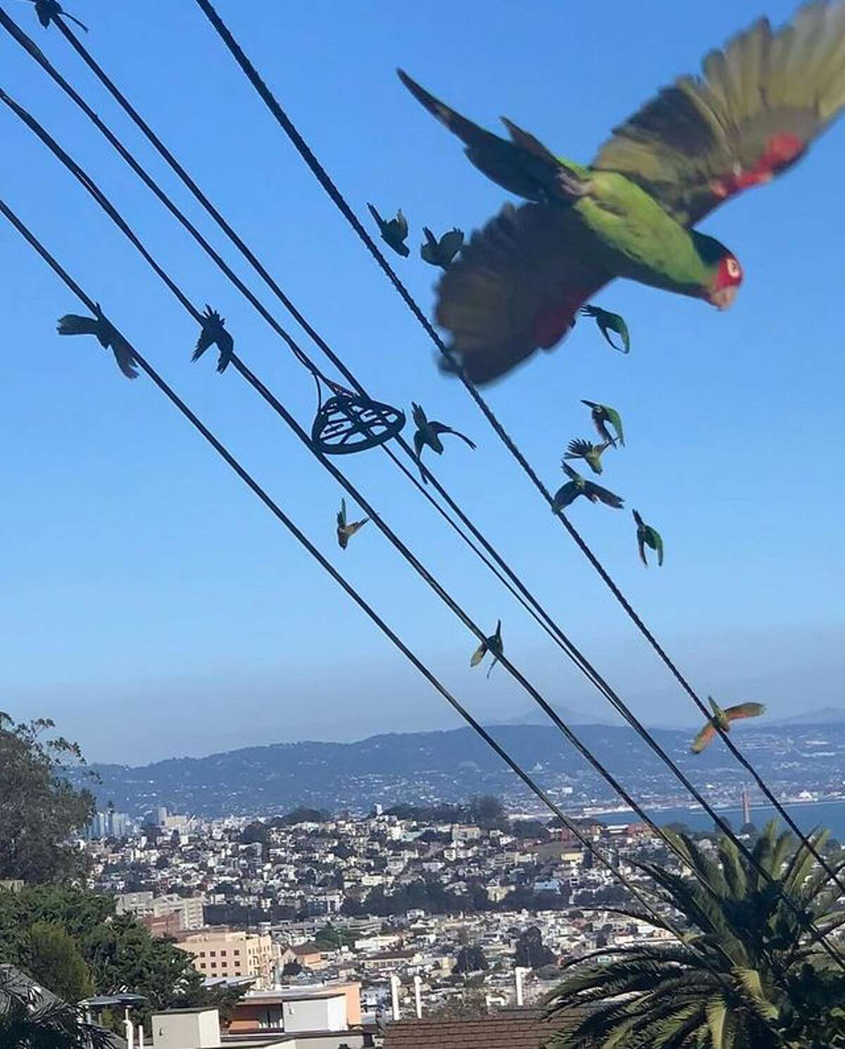 @travismonsonsf spotted a subflock of San Francisco's wild parrots at Billy Goat Hill.
