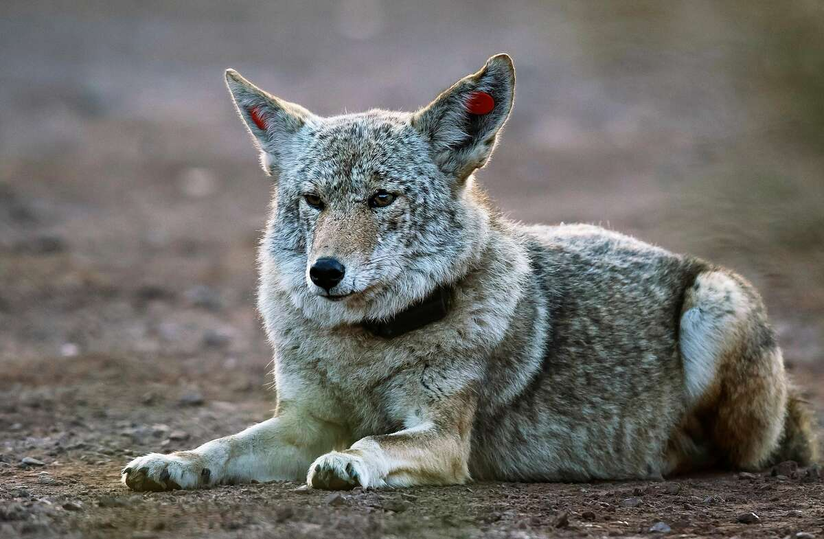 A female coyote that has been tagged and collared walks through a vehicle pullout where wildlife biologists have been conducting a study of coyotes that populate the area of the Marin Headlands in the Golden Gate National Recreation Area near Sausalito, Calif., on Tuesday, November 24, 2020.
