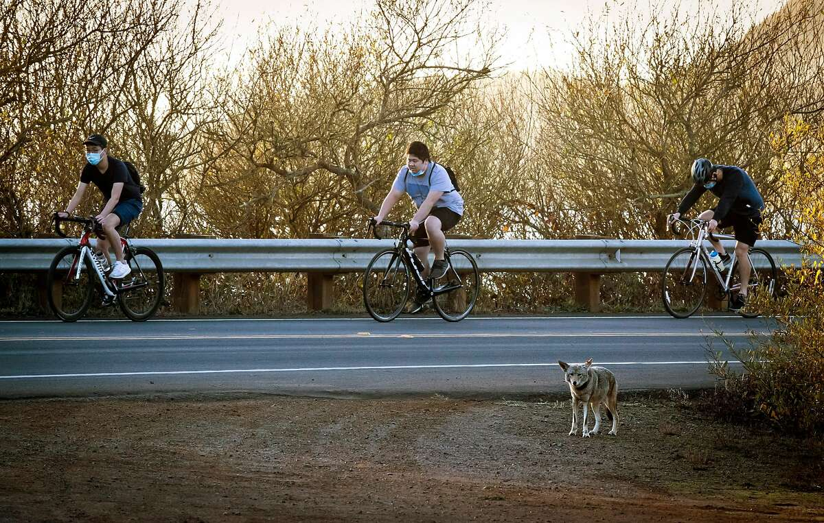 Three bicyclists ride past a coyote that has been tagged and collared where wildlife biologists have been conducting a study of coyotes that populate the area of the Marin Headlands in the Golden Gate National Recreation Area near Sausalito, Calif., on Tuesday, November 24, 2020. Seven local coyotes have been captured, tagged and collared so biologists can learn from their activity in the open space of the headlands.