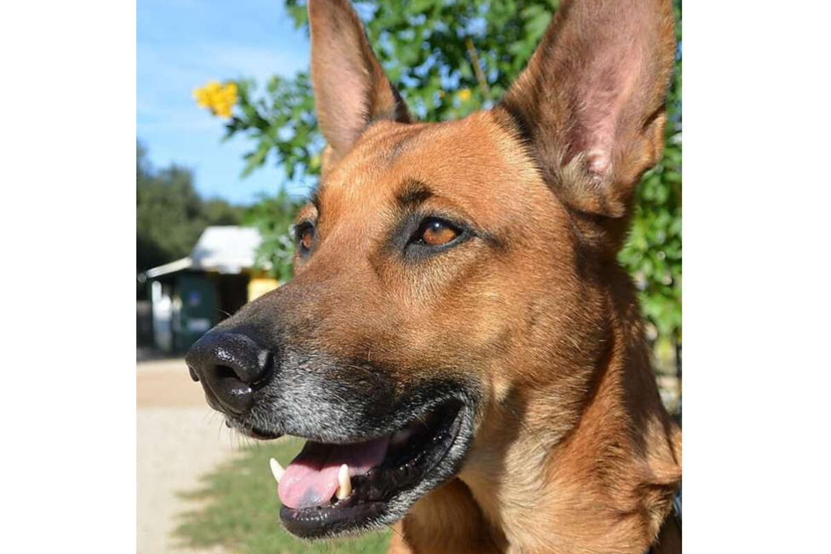 Major is a 3-year-old male Belgian Malinois mix with good manners. He walks politely on lead, is gentle and loving and will make an easy transition to family pet or companion.