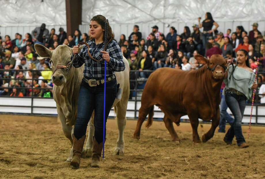High school students represent their FFA and 4-H clubs as they steers judged during the L.I.F.E Fair Steer Show judging during 2019 at the L.I.F.E. grounds. Photo: Danny Zaragoza / Laredo Morning Times File