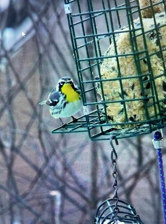 A yellow-throated warbler spotted at a birdfeeder was one of the more interesting and unusual birds seen during the Christmas Count. (Courtesy Photo)