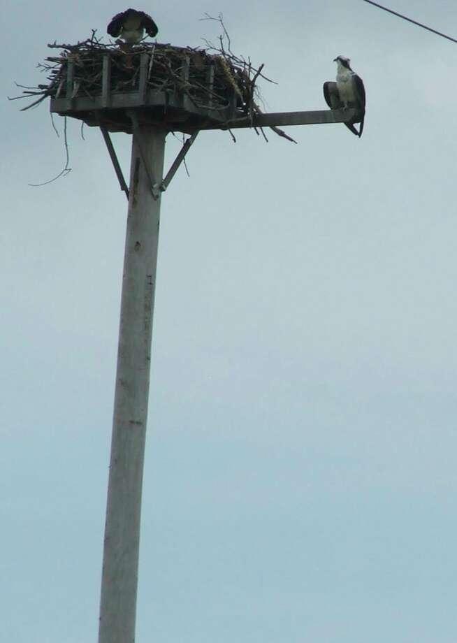 Taft Pole platform Osprey Nest