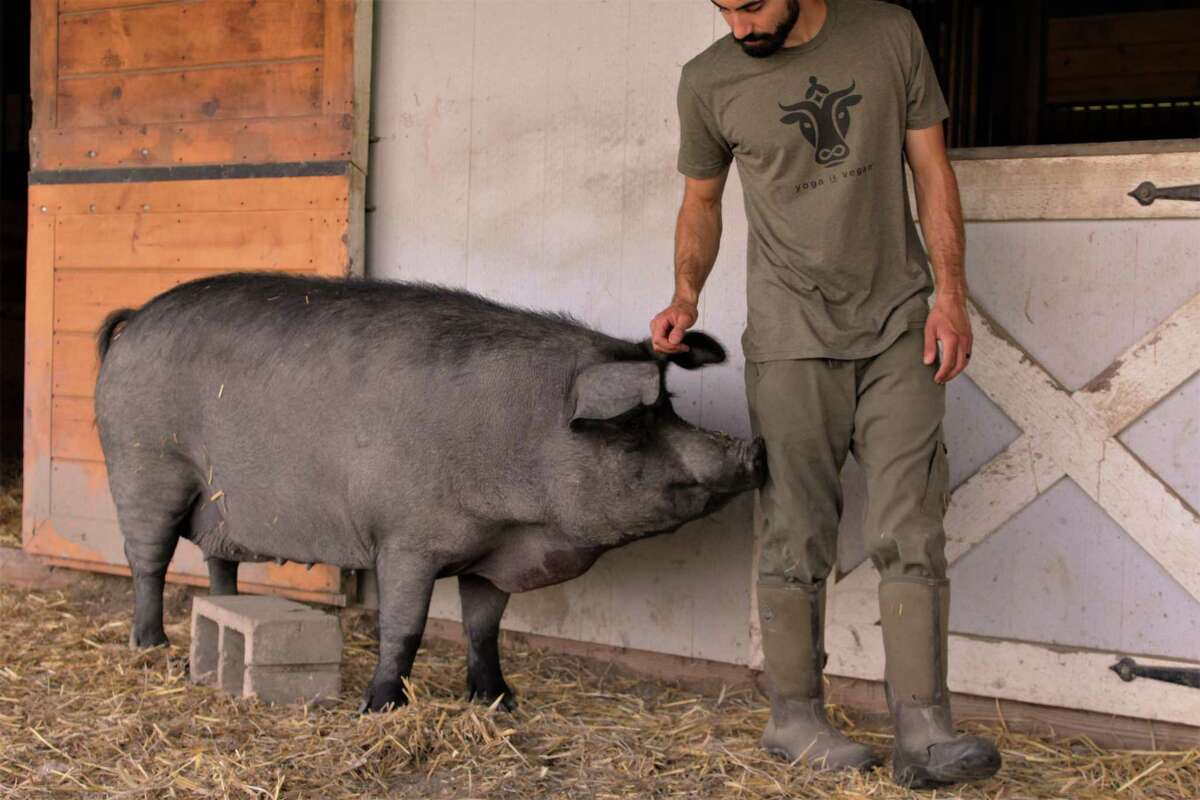 Joe Bonitatebus (Paltauf's husband) with one of the rescued animals at Sleepy Pig Farm and Animal Sanctuary. The money raised is going toward adding water, insulation, and stall walls in the barn, as well as additional fencing and repairs to outbuildings on the property, according to Paltauf. The fencing materials alone will cost about $15,680, Paltauf said. Paltauf says the sanctuary will not be able to rescue more animals without additional funds. Despite the laborious work behind rescuing animals, Paltauf is passionate continue saving animals from farm cruelty, something she says she witnessed firsthand and hopes others will recognize. When Patlauf was 18 years old - exploring Vermont dairy farms for a job - she came across one farm where the animals were living in particularly dire circumstances. While scoping out the land, she found a cement pit full of pigs and piglets, many who - if not already deceased - were barely surviving.