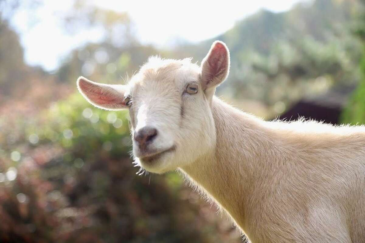 """A rescued goat at the Sleepy Pig Farm and Animal Sanctuary. Paltauf, horrified, brokered a deal with the farmer to rescue the surviving piglet. She cared for the piglet - later named Maybelle - and watched her grow into an adult. Today Maybelle is over 700 pounds and living at the sanctuary among 16 other animals. Paltauf's goal is to rescue others like Maybelle and give them a home. """"Animals deserve to be recognized and heard. There are so many animals out there that need assistance from us,"""" Paltauf said."""