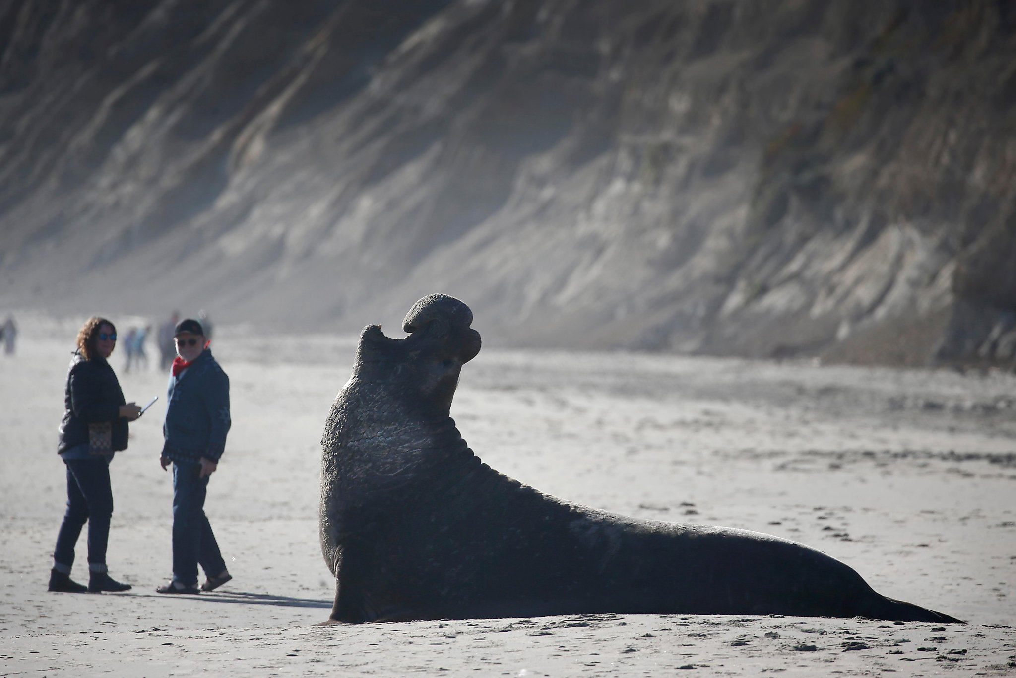 Let mating begin! A popular Point Reyes beach closes to humans as elephant seals arrive
