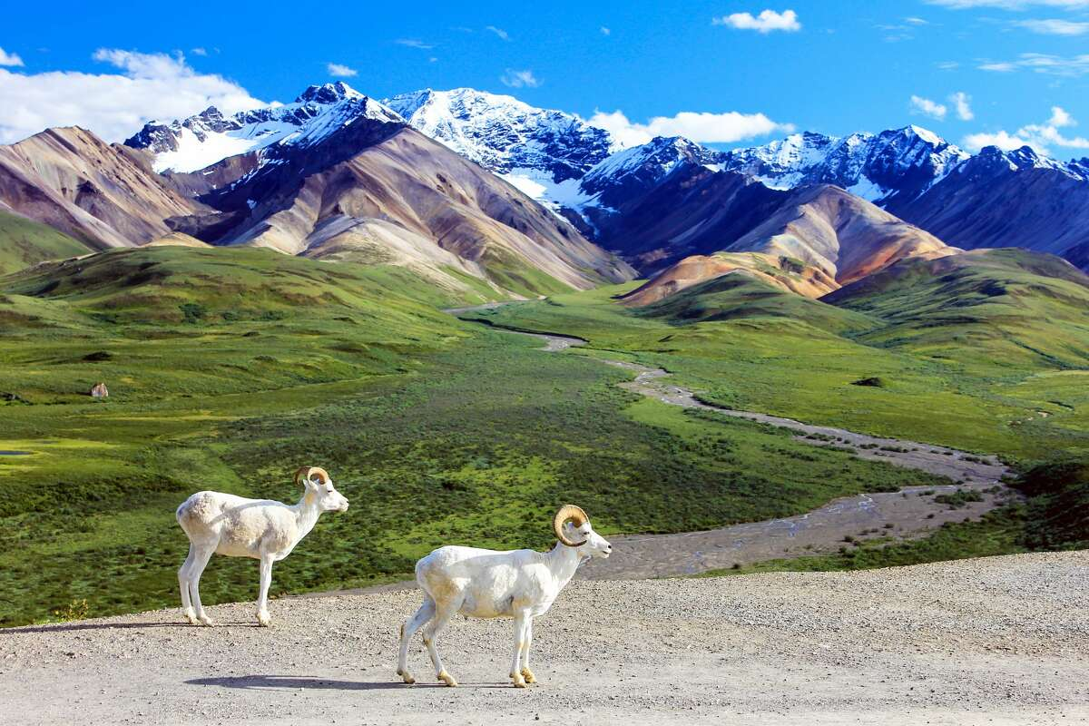 Dall sheep in Denali National Park at the Polychrome Overlook.