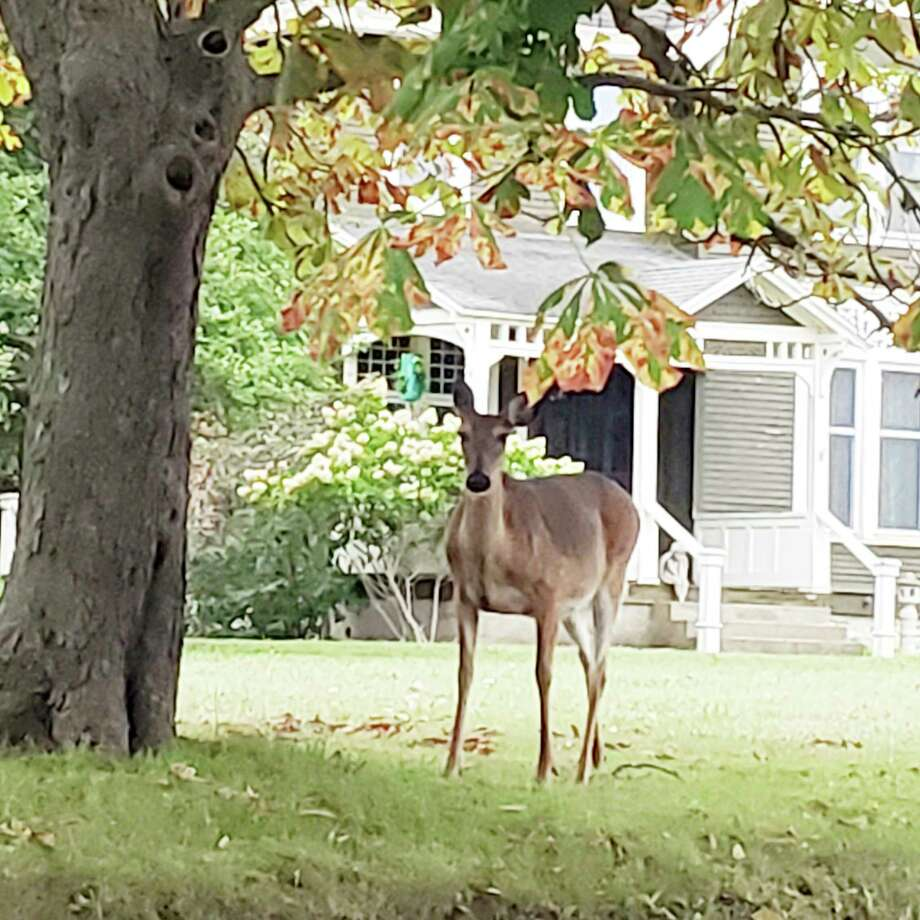 At a meeting in November, Manistee City Council rejected a request for a 2021 deer cull when the mayor read the request at the meeting and no councilmembers made a motion in support of it -- meaning the request failed for lack of support. The measure is on the agenda again as unfinished business for the Jan. 5 meeting. (File photo)
