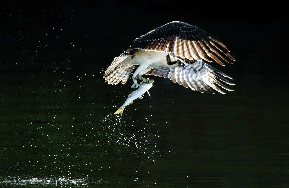 Osprey in flight with after catching a menhaden.