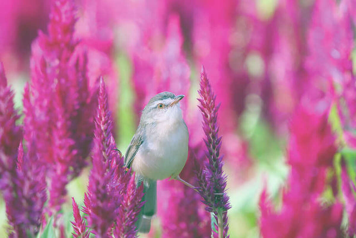 A small brown bird perched on a plumed celosia.