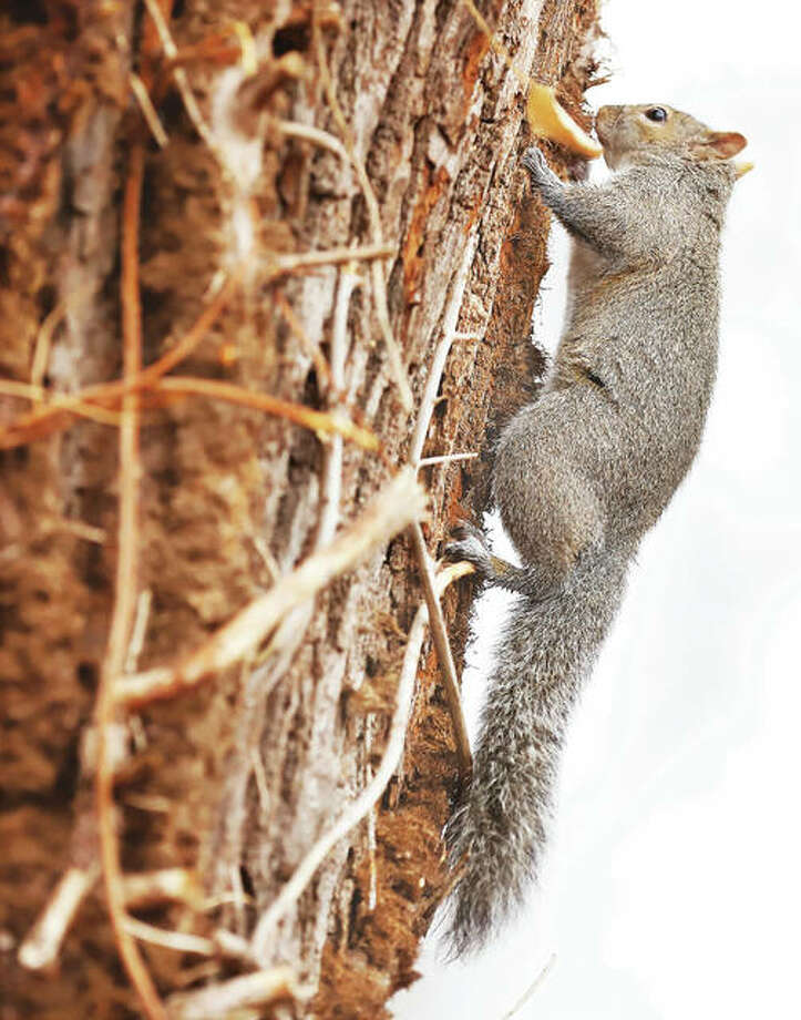 A grey squirrel had a mouthfull of something he was chewing on Wednesday on a tree in Dormann Park on Easton Street in Alton. The squirrels were out in force across Alton Wednesday finding and burying goodies ahead of a wintery mix expected for Thursday.